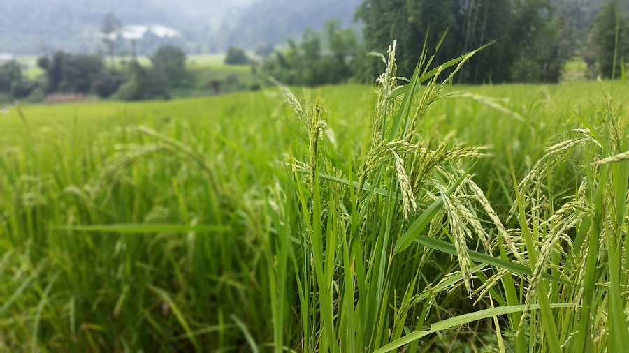 rice field Chiangmai